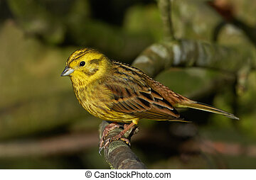 Yellowhammer (Emberiza citrinella) - Male Yellowhammer...