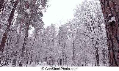 Pine forest in the snow.