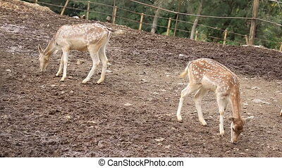 Young fallow deers