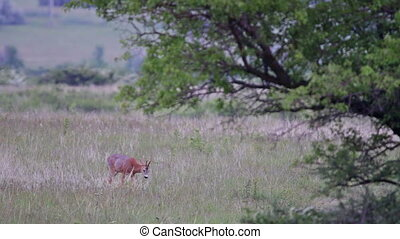 Young roe buck int the meadow on the dusk light