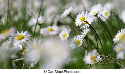 Beautiful white daisy growing in a summer gardenLeucanthemum...