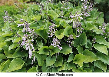 Hosta. - Nice natural background with green leaves hosts.