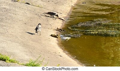 Two grey crows with one eating dead fish on shore