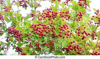 Background of red snowball berries with green leaves -...