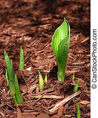 Hosta Sprouts emerging in the Spring, vertical, copy space