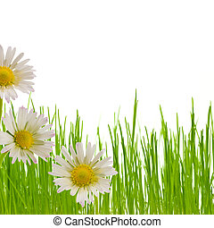 daisy flower, floral design spring season - three white and...