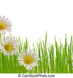 margarita, flor, floral, diseño, primavera,...