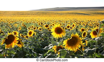 jump in the sunflowers - Jump in the sunflowers. Two men...