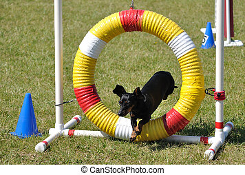 Black Miniature Dachshund Jumping through an Agility Tire,...