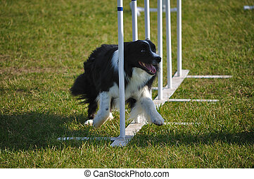 Border Collie doing weave poles at dog agility trial -...