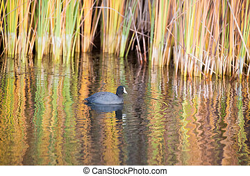American Coot in Reflections - The American coot (Fulica...