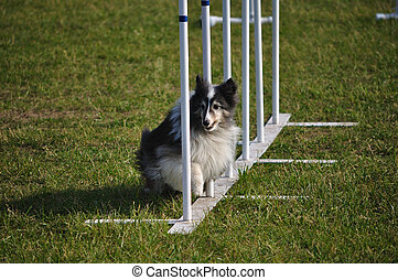 Shetland Sheepdog (Sheltie) weaving through weave poles at...