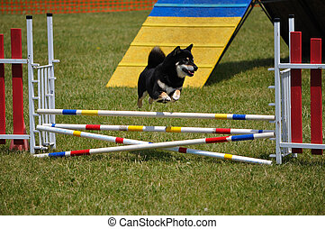 Shiba Inu leaping over a double jump at dog agility trial,...