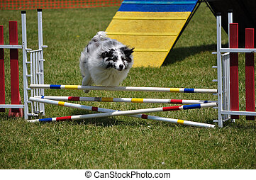 Australian Shepherd (Aussie) leaping over a double jump at...