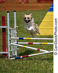 Mixed-breed dog leaping over a double jump at agility trial,...