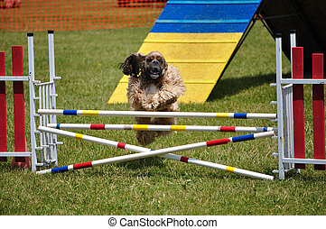 Cocker Spaniel leaping over a double jump at dog agility trial
