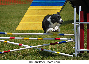 Border Collie leaping over a double jump at dog agility...