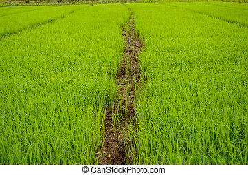 The rice seedlings vegetate in water.