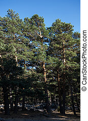 Scots Pine forest in Guadarrama Mountains, Madrid, Spain