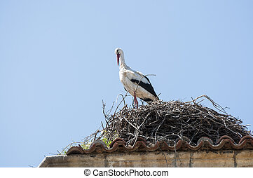 Adult of White stork, Ciconia ciconia on the nest Photo...