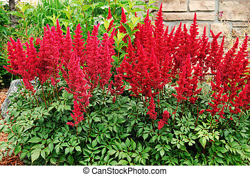 Red Astilbe False Spirea, Copy Space, Horizontal