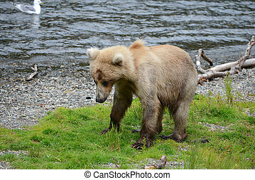 grizzly bear in katmai - Grizzly bear in Katmai, Alaska