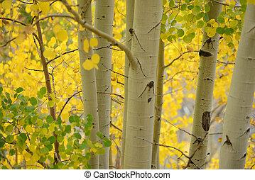 aspen autumn - yellow aspen tree from colorado in autumn