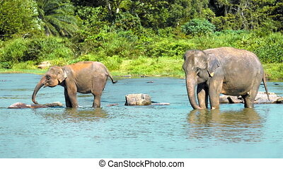 Elephants drinking water in the riv - Asian elephant mother...