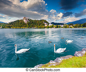 White swans in summer sunny day on Bled Lake, Bledsky lake....