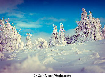 Trees covered with hoarfrost and snow in mountain forest...