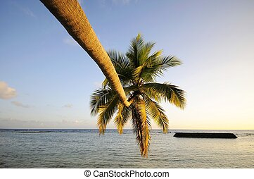 palm - Picture of palm at beach at maldives