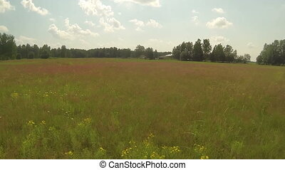 Aerial videoframe of summer red field and birds, sunny...