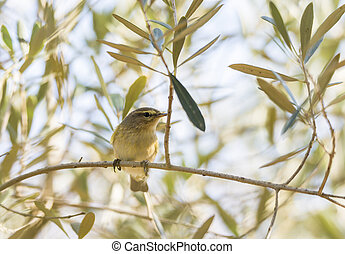 phylloscopus collybita, chiffchaff, on a tree branch