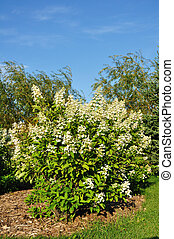 Blooming Hydrangea Bush, vertical, copy space