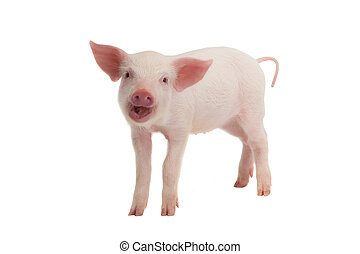 smile pig  - smile a pig with  on a white background