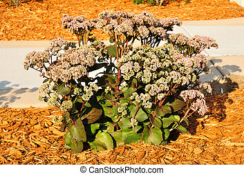 Flowering Sedum Matrona, gray-green leaves with rosy edges...