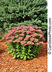 Flowering Sedum Autumn Joy with Mulch and Spruce Tree