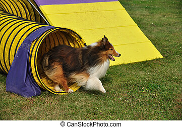 Shetland Sheepdog Sheltie Leaving Yellow Tunnel at Dog...