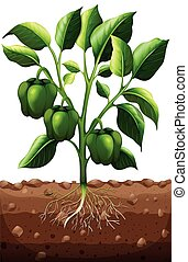 Green capsicum on the branch