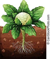 Cauliflower with roots in the ground