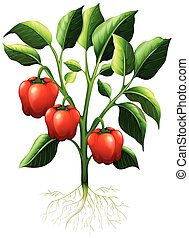 Red capsicum on the branch illustration