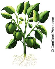 Green capsicum with roots illustration
