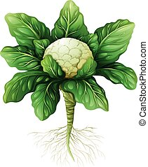 Cauliflower with leaves and roots illustration