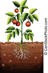 Tomatoes on the tree illustration