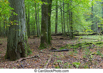 Old oaks in autumnal forest - Old oaks in fall deciduous...