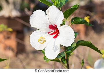 Hibiscus syriacus, white color