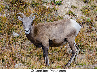 Face of Sheep on Mount Evans - A bighorn sheep grazing near...
