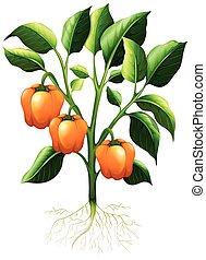 Orange capsicum on the branch