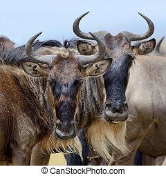 Wildebeest - Portrait of a wildebeest, National park of...
