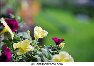 vibrant  petunias hanging outside on  wooden fence